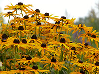 blooming black-eyed susans