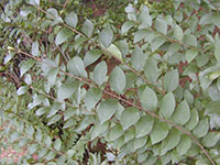 blunt-leaved privet