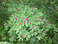bush honeysuckles