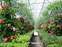 hanging flower baskets in a greenhouse