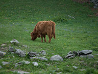 highland cow in pasture