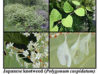 japanese knotweed examples