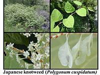 japanese knotweed examples