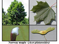 norway maple examples