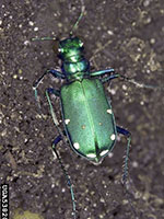 six spotted tiger beetle