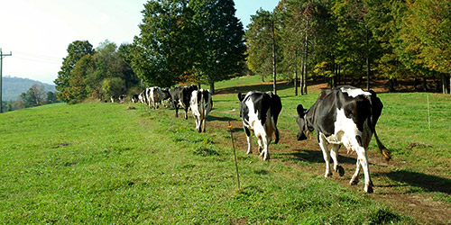 a line of cows walking down a path