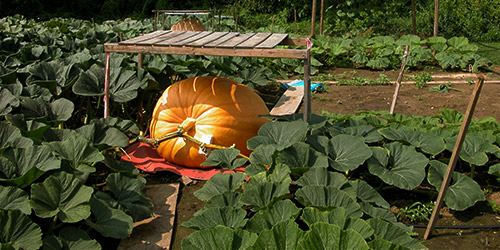 a jumbo pumkin being protected from the sun