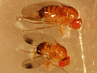 spotted-wing drosophila